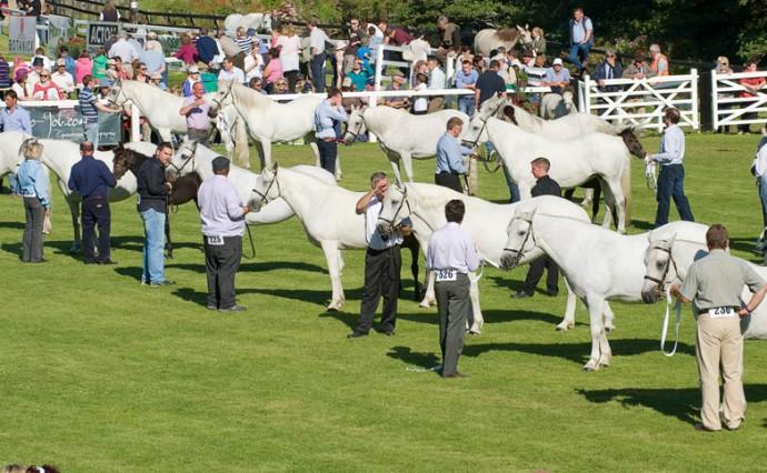 Connemara Pony Festival 2014